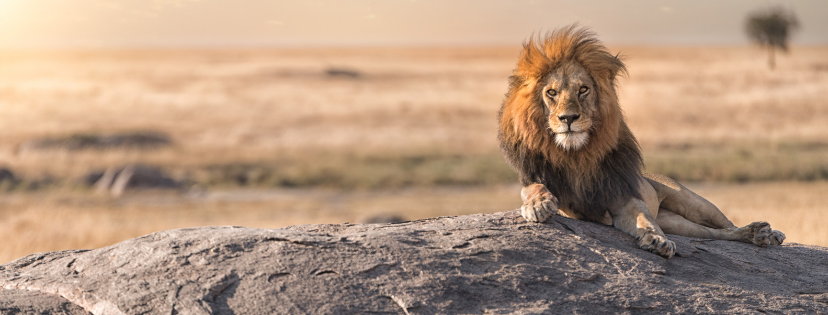 Wildlife-Day-Banner Lion sitting on rock in Zambia